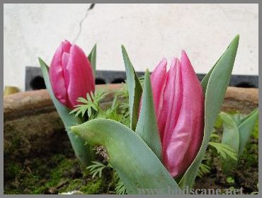 GROWING TULIPS IN NORTH INDIA 1