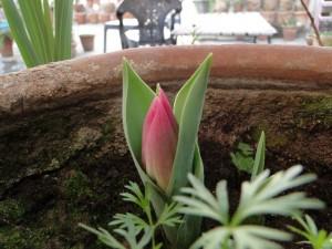 tulip-bud-emerging-pink
