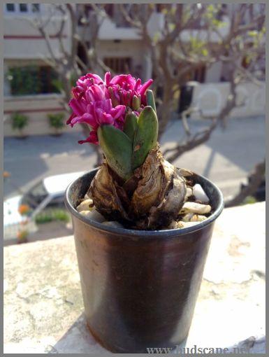 growing-hyacinth-in-water