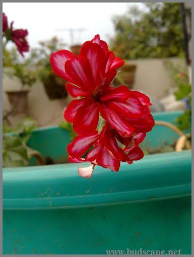 hanging-geranium-1