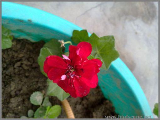 hanging-geranium
