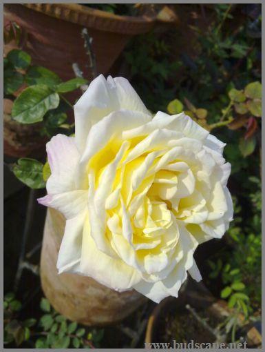 pale-yellow-rose
