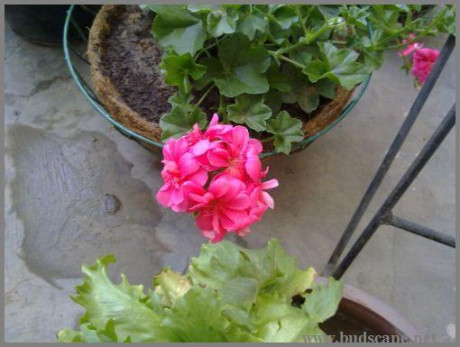 trailing-geranium-ivy
