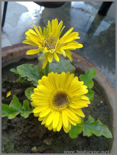 yellow-gerbera-hybrid