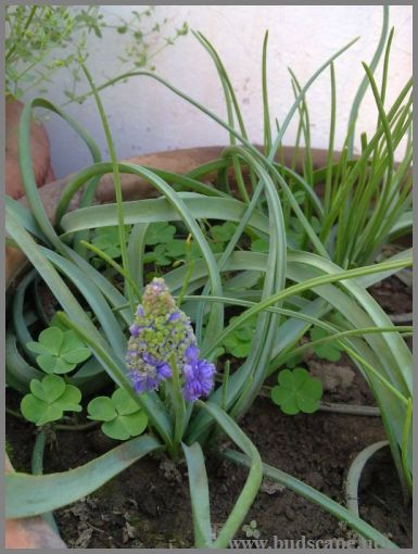 blue-muscari-from-bulbs