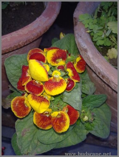calceolaria-from-seed