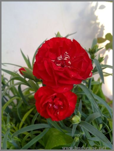 carnation-lilipot-red