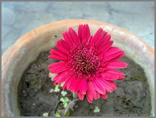 dark-red-hybrid-gerbera
