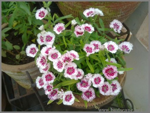 dianthus-from-seed
