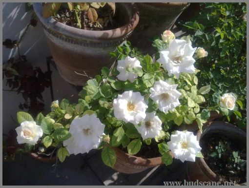 double-petunia-white-from-seed