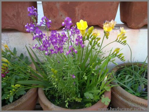 freesia-from-bulbs