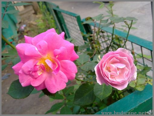 hot-pink-roses