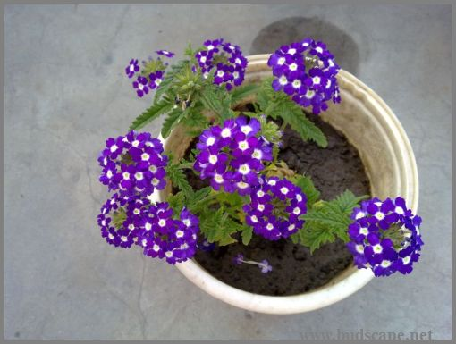 hybrid-verbena-purple