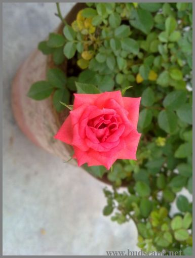miniature-rose