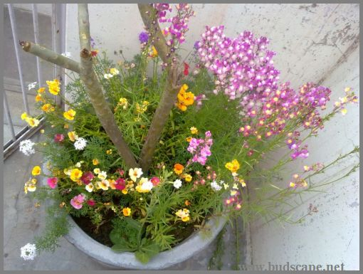 mixed-annual-flowers-container