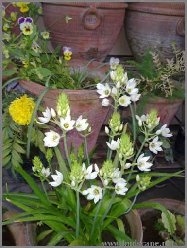 ornithogalum-from-bulbs