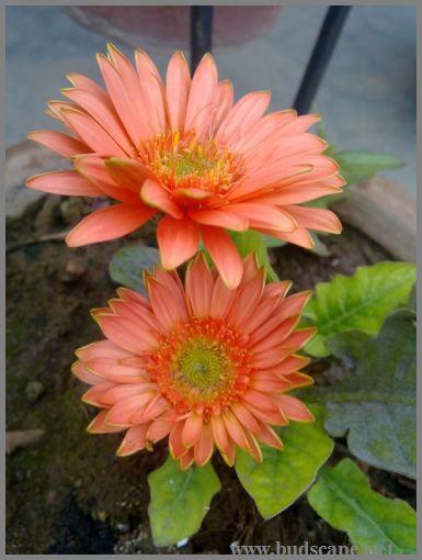 peach-gerberas-hybrid