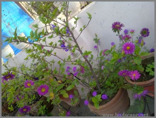 pink-aster-purple-aster-from-seed