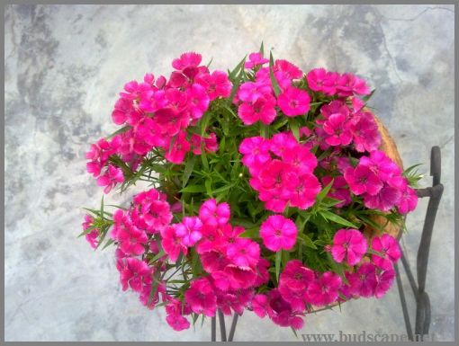 pink-dianthus-from-seed