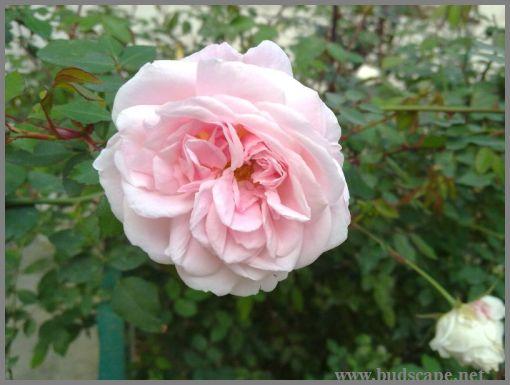 pink-rose-bush