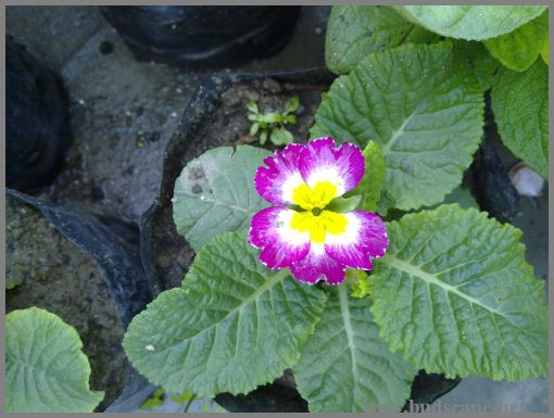 primula-from-seed