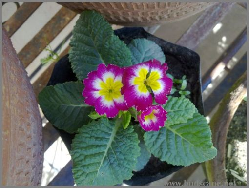 primula-from-seeds