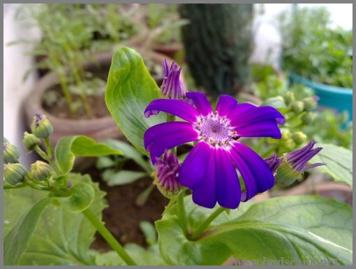 purple-cineraria