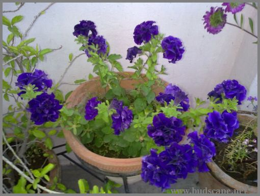 purple-dpuble-petunia-from-seed