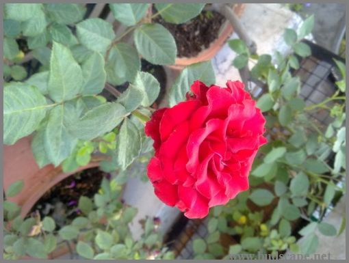 red-rose-plant-in-pot