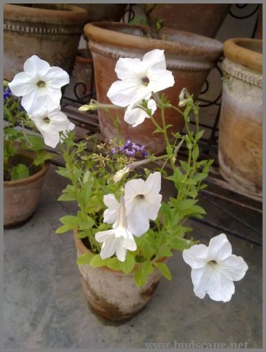 single-self-seeding-petunia-white