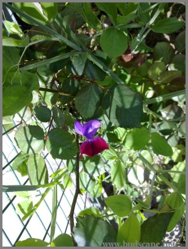 sweet-pea-from-seeds