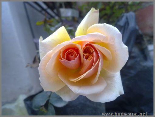 twin-roses-mutation