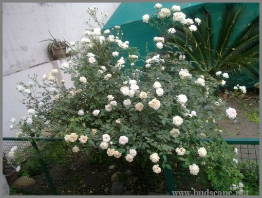 white-rose-bush