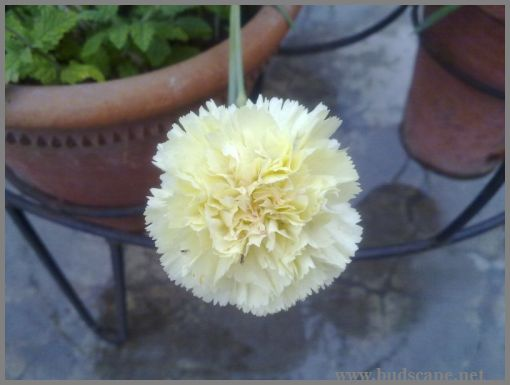 yellow-carnation-for-cutting