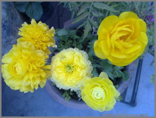 yellow-ranunculus-from-bulbs