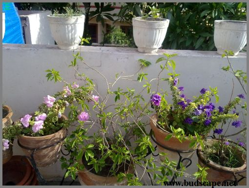 double-petunia-in-pots