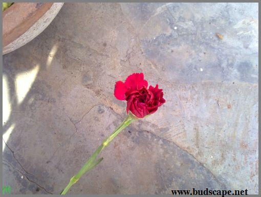 florist-carnation-red