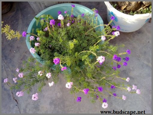 verbena-in-a-pot