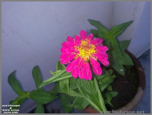 hot-pink-zinnia-from-seed