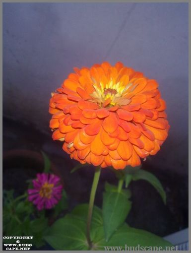 orange-zinnia-from-seed