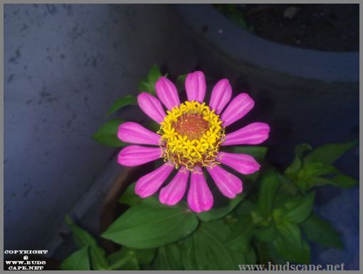 pink-single-zinnia-from-seed