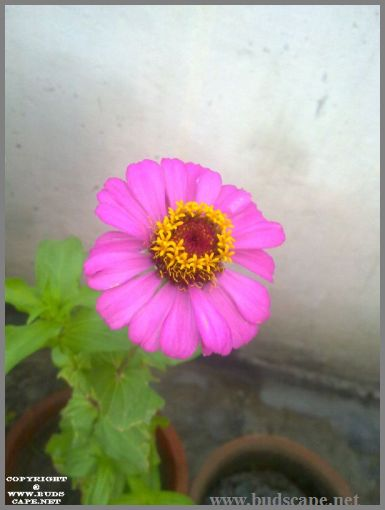 pink-zinnia-from-seed-1