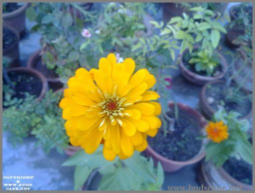 yellow-zinnia-from-seed
