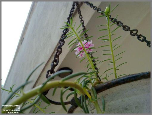 portulaca-in-hanging-basket