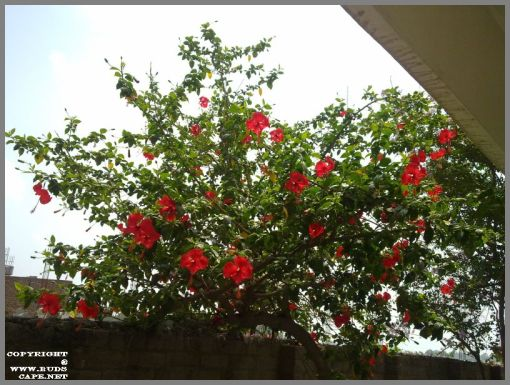 red-hibiscus-tree