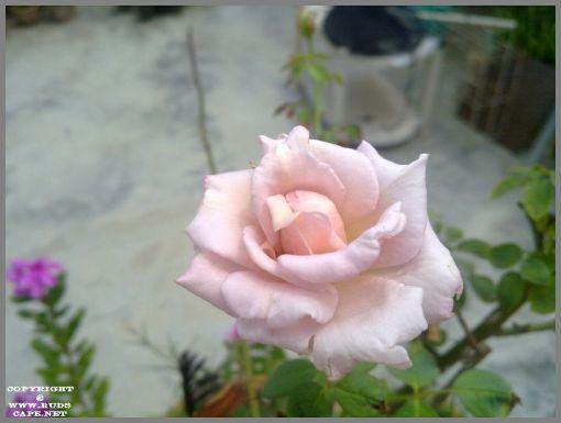 baby-pink-rose