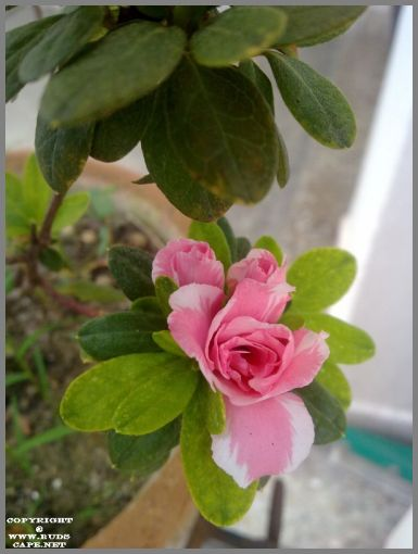 grow-azalea-plant-pink