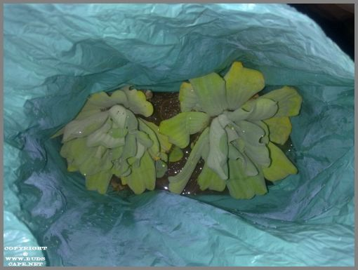 pistia-water-plant-1