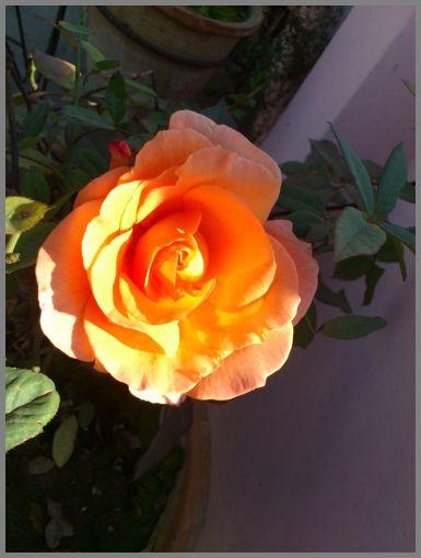 rose-blooms-01