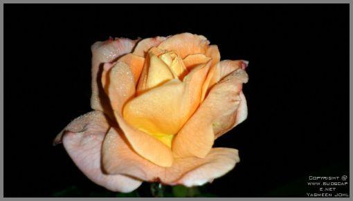 rose-blooms-02